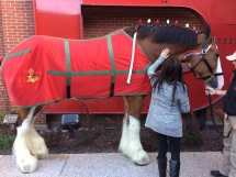 Anheuser Busch Clydesdales